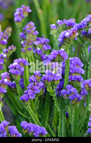 Wavyleaf sea lavender (Limonium sinuatum) - Stock Photo