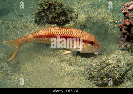 Striped Red Mullet (Mullus surmuletus). Galicia, Spain - Stock Photo