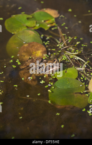 European Common or Grass Frog (Rana temporaria), alongside aquatic floating leaves of Frogbit (Hydrocharis morsus - Stock Photo