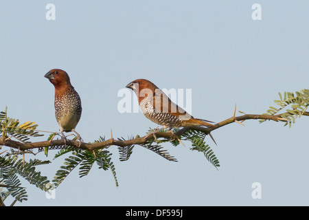 Scaly-breasted Munia or Spotted Munia (Lonchura punctulata), also known as Nutmeg Mannikin or Spice Finch - Stock Photo