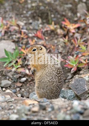 Arctic ground squirrel (Spermophilus parryii). Denali National Park. Alaska. USA - Stock Photo