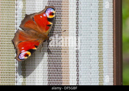 Peacock butterfly ( Inachis io) closeup on a deck chair - Stock Photo
