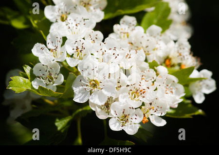 Hawthorn flowers closeup with a dark background - Stock Photo