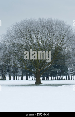 Dramatic, cold winter monochrome scene with grey sky over large mature tree on snow-covered fairway - Bradford Golf - Stock Photo