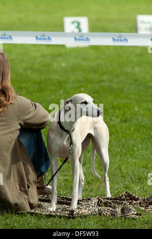 Wroclaw, Poland, 28th September  2013. Whippet at XXI International Dog Show (CACIB) at Olimpic Stadium in Wroclaw. - Stock Photo