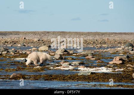 Canada, Nunavut, western shore of Hudson Bay, Kivalliq Region, Arviat. Young polar bear (Ursus maritimus). - Stock Photo
