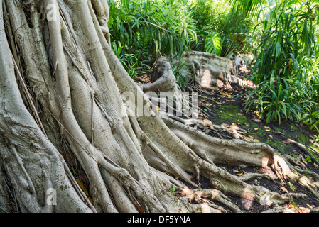 Ficus thonningii is a species of Ficus with it's intricate roots and  trunk. - Stock Photo