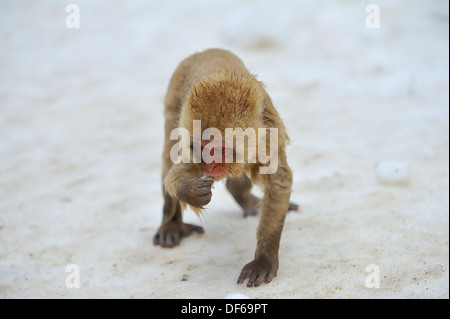 Young Japanese Macaque (Snow Monkey) in hotspring at the Jigokudani Park near Nagano, Japan  - Stock Photo