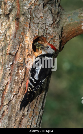 Middle spotted woodpecker (Dendrocopos medius) at nest with food - Stock Photo