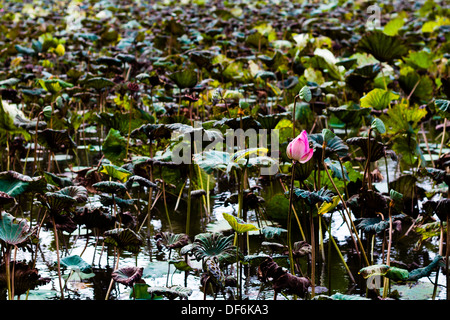 Lotus flower in pond surrounded by lilies - Stock Photo