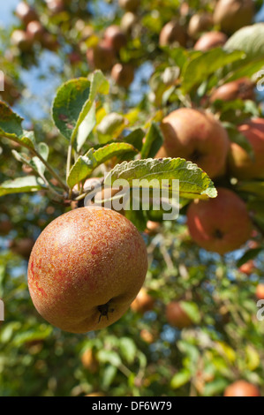 Cultivated Malus Cornish ripening apple ready to be harvested for Autumn crop - Stock Photo