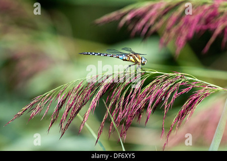 Common Hawker or Sedge Darner (Aeshna juncea), Bow Creek Ecology Park, Newham, London, England, UK. - Stock Photo