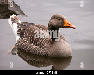 Greylag goose Anser Anser floating on still water lake - Stock Photo