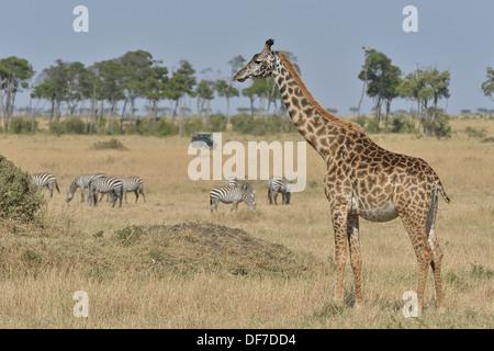 Masai Giraffe (Giraffa camelopardalis tippelskirchi) and Burchell's zebra (Equus quagga), Massai Mara, Serengeti - Stock Photo