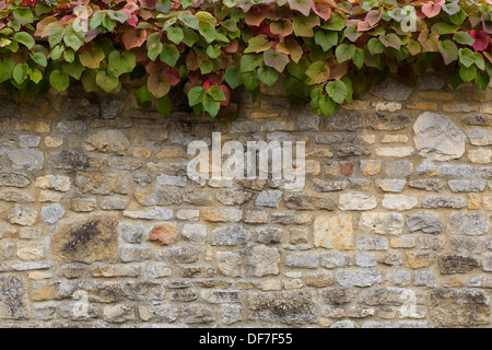 Cotswold Stone Wall with Turning Leaves for Autumn Growing along the top - Stock Photo