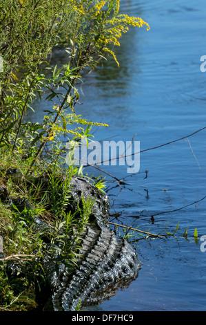 American alligator (Alligator mississippiensis) sunning along water's edge of Payne's Prairie wetland. - Stock Photo
