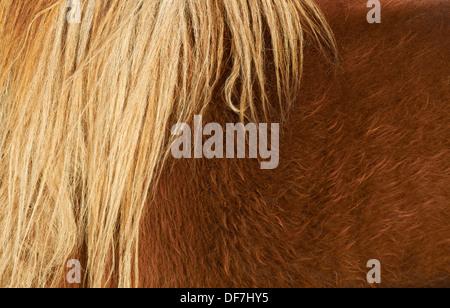 Shetland pony (Equus ferus caballus) mane - Stock Photo