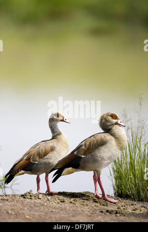 Egyptian Geese at a watering hole in the Mara - Stock Photo