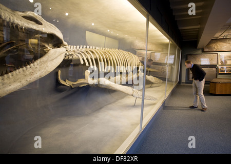 Paleontology (Kronosaurus, 135 million years old, marine reptile), Museum of Natural History, Harvard University, - Stock Photo
