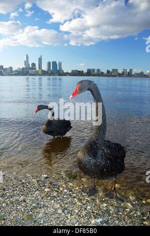 Australian black swans (Cygnus atratus) on Swan River with city of Perth in background, Western Australia - Stock Photo