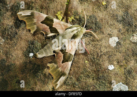 Lime Hawk Moth (Mimas tiliae) at night, Spain - Stock Photo