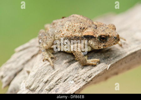 Young common Toad Bufo bufo, Spain - Stock Photo