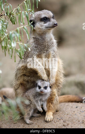 Suricate suricatta, Captive, Germany, Meerkat, adult on guard with youngers - Stock Photo