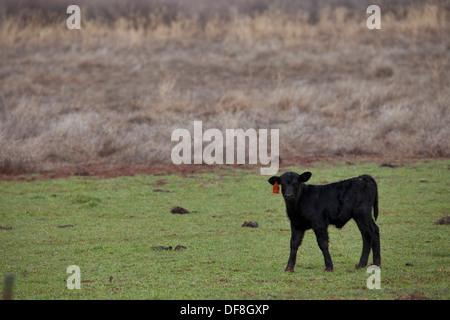 Calf in Paradox Valley, Colorado. - Stock Photo