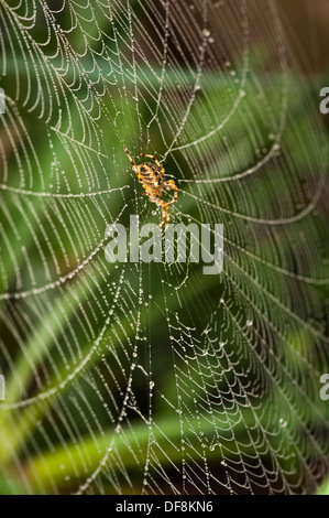 North London suburb common European Garden Spider Cross Orb Araneus Diadematus spiders web webs dew rain water drop - Stock Photo