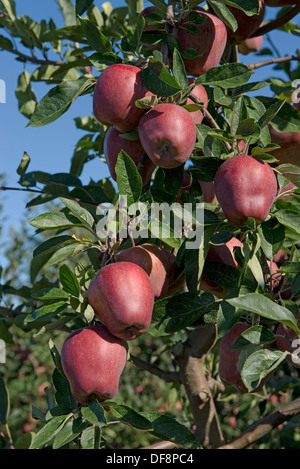 Heavily fruiting ripe cordon apples red delicious on the trees near Sainte-Foy-la-Grande, Gironde, France, August - Stock Photo