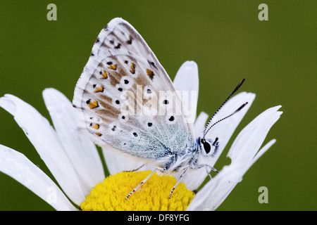 Common Blue Butterfly Polyommatus icarus on blossom after rain - Bavaria / Germany - Stock Photo