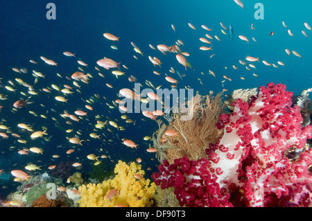 A reef scenic with soft corals crinoids gargonians and a school of yellow and orange-pink Anthias, Pseudanthias - Stock Photo