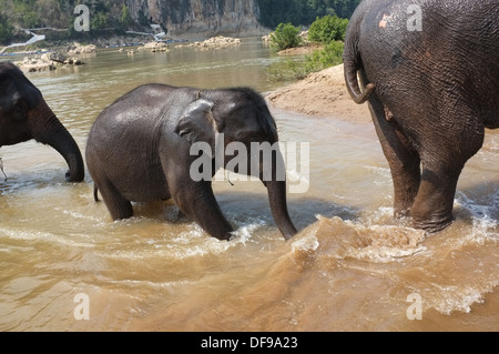 Baby elephant bathing in the river, Luang Prabang, Laos - Stock Photo