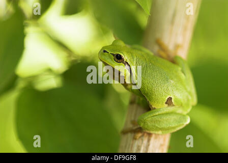 Common tree frog (Hyla arborea), sitting on a branch, spring, National Park Lake of Neusiedel, Austria - Stock Photo