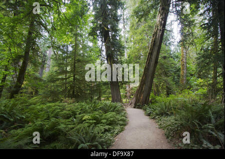 A view of a trail through part of a preserved old growth stand of trees in Cathedral Grove, part of MacMillan Provincial - Stock Photo