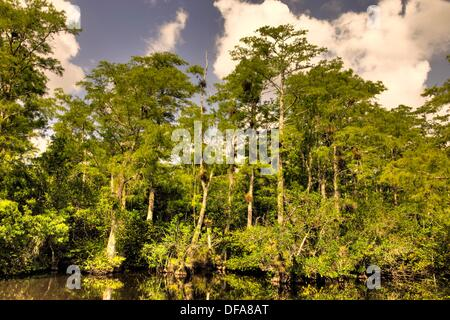 Cypress Trees in Water, Big Cypress National Preserve, Florida - Stock Photo