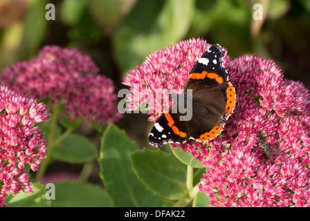 British garden Red Admiral butterfly on a sedum bush. - Stock Photo
