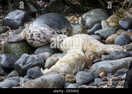 Grey Seal (Halichoerus grypus) gestures to its young pup on a rocky cove on the Pembrokeshire island of Ramsey - Stock Photo