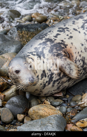 Grey Seal (Halichoerus grypus) cow on a rocky cove on the Pembrokeshire island of Ramsey - Stock Photo