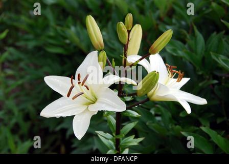 Madonna lily in medieval garden, Rodemack, Lorraine, France. - Stock Photo