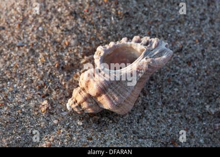 European sting winkle / Oyster drill / Hedgehog Murex (Ocenebra erinacea) on beach along the North Sea coast - Stock Photo