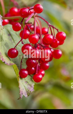 Red autumn berry - Stock Photo