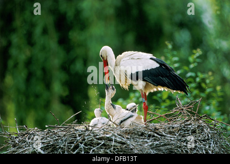 White stork regurgitating food to chicks in nest (Ciconia ciconia). Alsace - France - Stock Photo