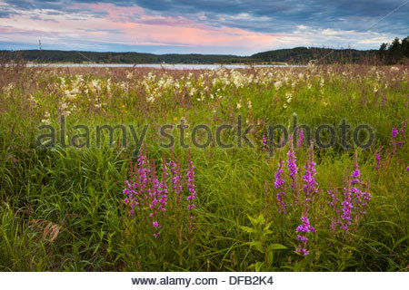 Beautiful purple loosestrife flowers, Lythrum salicaria, in a meadow near the lake Sæbyvannet in Østfold, Norway. - Stock Photo
