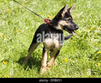 German shepherd puppy in a dogshow in Tallinn - Stock Photo