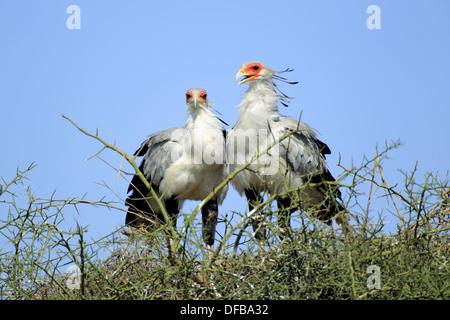 Couple of Secretarybird or Secretary Bird Sagittarius serpentarius in the nest - Stock Photo