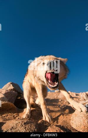 wild snarling wolf canis lupis in the Altai Region of Bayan-Ölgii in Western Mongolia - Stock Photo