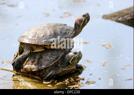 Two Red-eared slider / turtle, one on the other one Trachemys scripta elegans Captive, Alsace, France - Stock Photo
