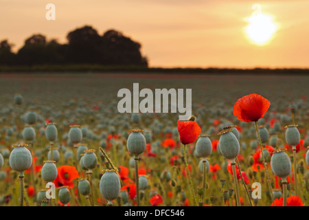 Poppies and seed pods backlit by the sunset on a Summer evening in Hampshire. - Stock Photo