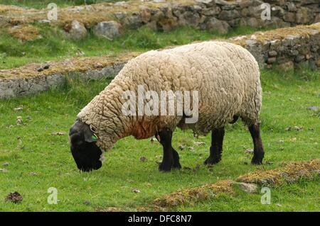 Sheep. Shetland Islands. Scotland. United Kingdom. Europe - Stock Photo